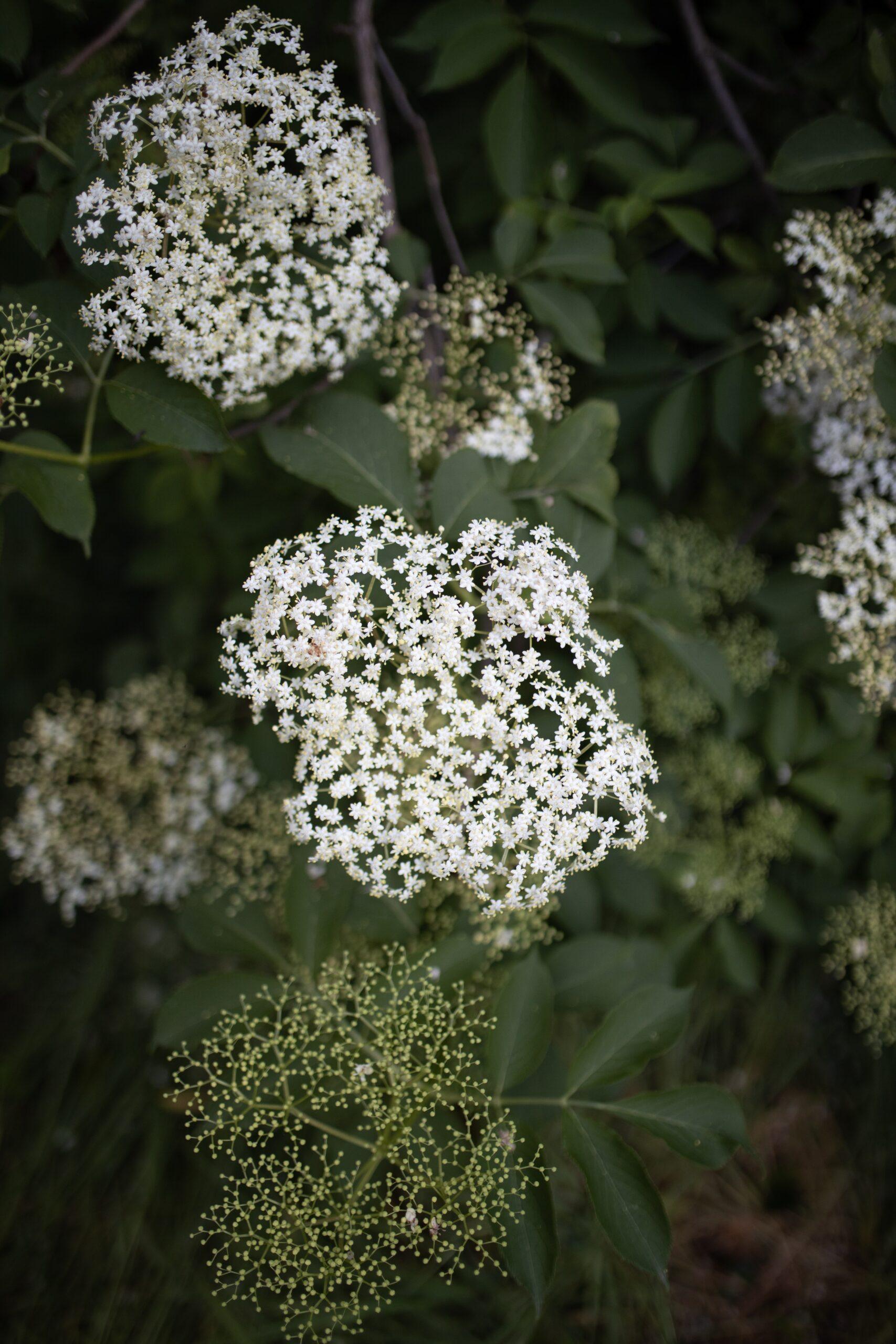 Day 19: Everything Elderflower, June 2021