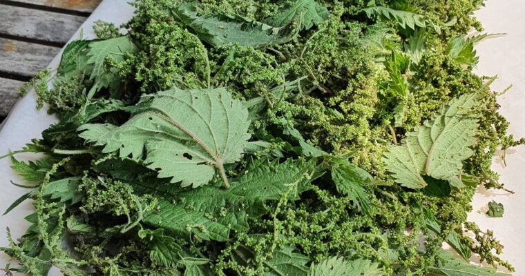 Day 49: July Foraging – Nettle Seeds – a Superfood (TYOH)